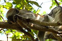 Red Colobus-4.jpg