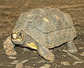 Red Footed Tortoise 2.jpg