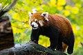 Red Panda (37832766494).jpg
