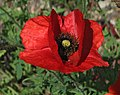 Red Poppy Papaver Flower Closeup 2049px.jpg