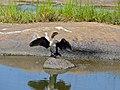 Reed Cormorant (Phalacrocorax africanus) juvenile (11465641434).jpg