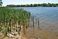 Reeds on the riverbank Tsna.jpg