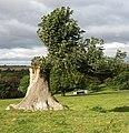 Regenerating ash tree - geograph.org.uk - 1518839.jpg