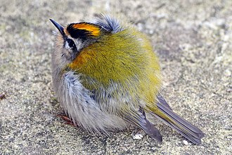 Common firecrest - Male of nominate subspecies  in England