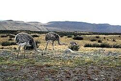 Rhea pennata -Patagonia -Chile-8.jpg