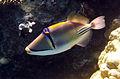 Rhinecanthus assasi - Rotmeer-Picassodrueckerfisch 0533.jpg
