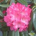 Rhododendron (SG) (33096757773).jpg