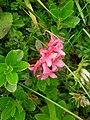Rhododendron hirsutum Bohinj 1.JPG