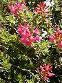 Rhododendron hirsutum RHu 05.JPG