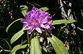 Rhododendron ponticum 3.jpg