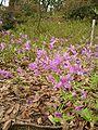 Rhododendron reticulatum.JPG