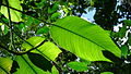 Rhodospatha latifolia Poepp. (8985078757).jpg