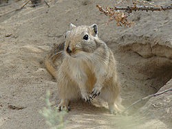 English: Great gerbil (Rhombomys opimus). Baik...