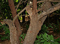 Rhus mysorensis (Mysore Sumac) W IMG 3605.jpg