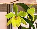 Rhyncatdendrum Tzeng-Wen Green -台南國際蘭展 Taiwan International Orchid Show- (25970055817).jpg