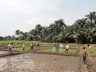 Africa Rice Center - Image: Rice cultivation in Benin panoramio Africa Rice Center (3)