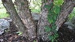 River Birch Trunk.JPG