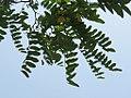 Robinia pseudoacacia - bagrem.jpg