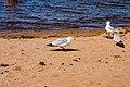Rock Gulls (38959561564).jpg