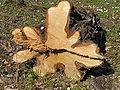 Root swelling betula verrucosa beentree.jpg