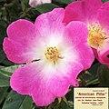 "Rosa ""American Pillar"". 05.jpg"