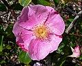 Rosa Anemone 1.jpg
