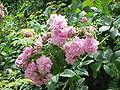 Rosa damascena1.jpg