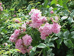 Rosa damascena1.jpg