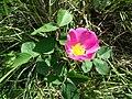 Rosa gallica sl12.jpg