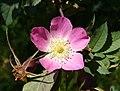 Rosa glauca inflorescence (33).jpg