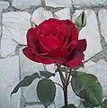 Rosa roja jardín.JPG