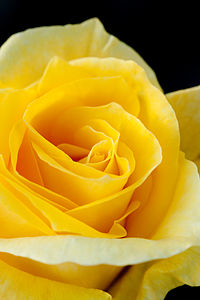 Rose, Friesia - Flickr - nekonomania.jpg