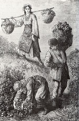 Rose oil - Rose-picking in the Rose Valley near the town of Kazanlak in Bulgaria, 1870s, engraving by Austro-Hungarian traveller Felix Philipp Kanitz