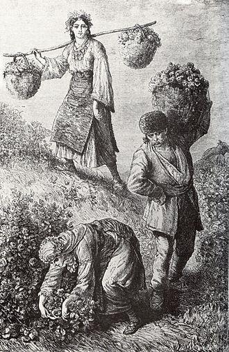 Rose oil - Rose-picking in the Rose Valley near the town of Kazanlak in Bulgaria, 1870s, engraving by Austro-Hungarian traveller Felix Philipp Kanitz
