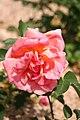 Rose Luis de Brinas 20070601.jpg