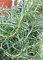 Rosemary sprigs on bush.jpg