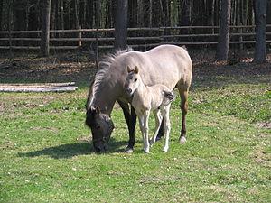 Roztocze National Park - Image: Roztocze konik polski