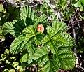 Rubus chamaemorus 2 c (15727769123).jpg