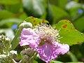 Rubus ulmifolius Enfoque 2011-5-22 SierraMadrona.jpg