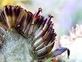 Rudbeckia hirta (4991893364).jpg