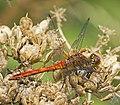 Ruddy Darter, Sympetrum sanguineum male (19667847780).jpg