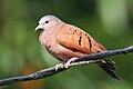Ruddy Ground Dove.jpg