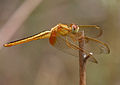 Ruddy Marsh Skimmer (Crocothemis servilia) female W IMG 0742.jpg