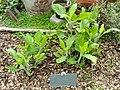 Ruellia ciliatiflora - Copenhagen Botanical Garden - DSC08027.JPG