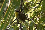 Rufous-capped Warbler 3 - Hunter Canyon.jpg