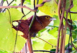 Rufous-coucal.jpg