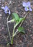 Ruhland, Grenzstr. 3, Hain-Veilchen, Trieb mit Blüten, Frühling, 05.jpg