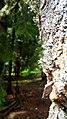 Rumanian Forest, Carpatos Mountains 8.jpg