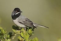 Ruppell's warbler.jpg