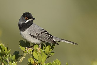 Rüppell's warbler - Image: Ruppell's warbler